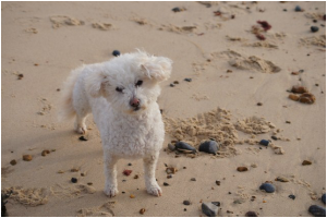 desperategreekies rescue dog flossie loving life on the beach happy at last